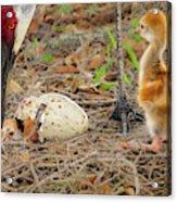 Just Hatching Acrylic Print