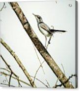 Juvenile Tropical Gnatcatcher El Escobal Ibague Tolima Colombia Acrylic Print