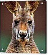 Kangaroo Macropus Sp., Head-shot Acrylic Print