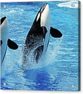 Killer Whale Family Jumping Out Of Water Acrylic Print