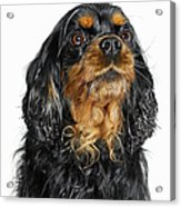 King Charles Cavalier Portrait Acrylic Print