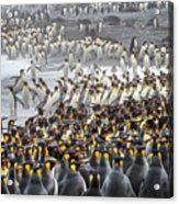 King Penguin Rookery At Salisbury Acrylic Print