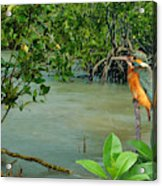 Kingfisher In The Mangroves Acrylic Print