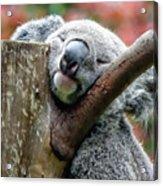 Koala Catching Zs Acrylic Print