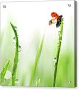 Ladybug On Green Grass Acrylic Print