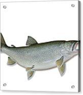 Lake Trout With Clipping Path Acrylic Print