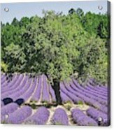 Lavender Field And Tree Acrylic Print