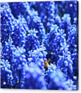 Lavender Field With Bee Acrylic Print