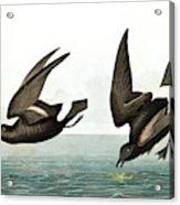 Least Stormy Petrel, Thalassidroma Pelagica By Audubon Acrylic Print