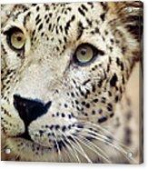 Leopard Head Acrylic Print