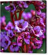 Lilac #h9 Acrylic Print