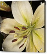 Lilies Macro Acrylic Print