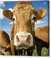Limousin Bull Acrylic Print