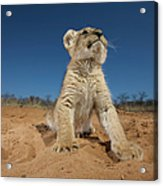 Lion Cub Panthera Leo Sitting On Sand Acrylic Print