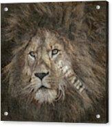 Lion Safari Acrylic Print