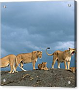 Lionesses And Cubs Panthera Leo On Acrylic Print