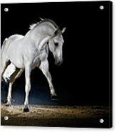 Lipizzaner Horse Playing Acrylic Print