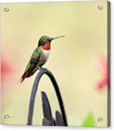 Little Hummingbird Acrylic Print