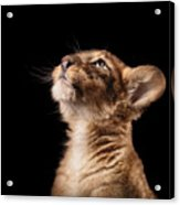 Little Lion Cub In Studio On Black Acrylic Print