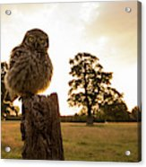 Little Owl Sunset Acrylic Print