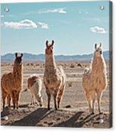 Llamas Posing In High Desert Acrylic Print