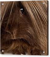 Long Haired Guinea Pig, Close-up Acrylic Print