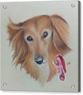 Long Haired, Miniature Dachshund Acrylic Print