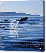 Long-nosed Common Dolphin,delphinus Acrylic Print
