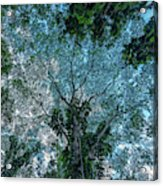 Looking Up Into The Canopy Of Trees Acrylic Print