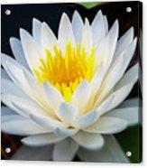 Lotus Gold Acrylic Print