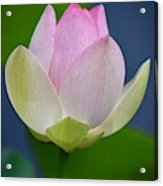 Lovely Soft Lotus Acrylic Print
