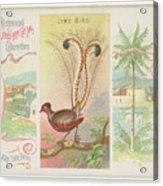 Lyre Bird Acrylic Print