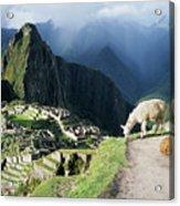 Machu Picchu And Llamas Acrylic Print