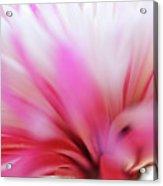 Macro Photo Of A Beautiful Flower. Chrysanthemum. Acrylic Print