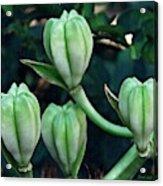 Madonna Lilies Acrylic Print