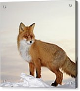 Majestic Fox Acrylic Print