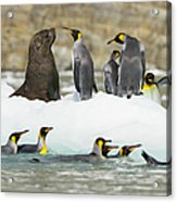 Male Antarctic Fur Seal And King Acrylic Print