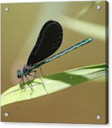 Male Ebony Jewelwing Acrylic Print