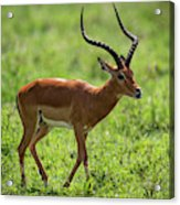Male Impala Crossing Grassland With Tongue Out Acrylic Print