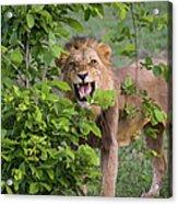 Male Lion With Teeth Bared, Botswana Acrylic Print