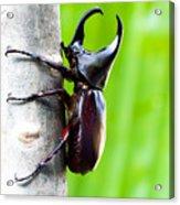 Male Rhinoceros Beetle, Rhino Beetle Acrylic Print