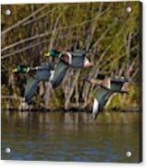 Mallards Flying By Acrylic Print