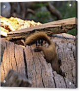 Marmot Escape Acrylic Print