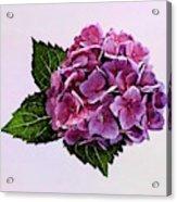 Maroon Hydrangea Acrylic Print