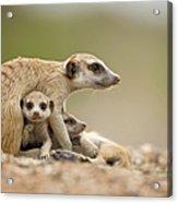 Meerkat Pups With Adult, Namibia Acrylic Print