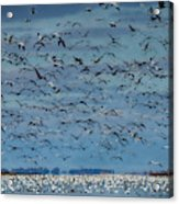 Migration Of The Snow Geese Acrylic Print