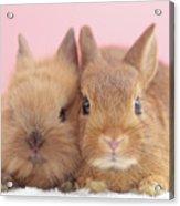 Mini Rabbits Acrylic Print