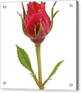 Miniature Pink Rose Bud With Water Acrylic Print
