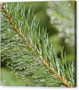Moist Pine Tree Leaves With Water Droplets. Acrylic Print