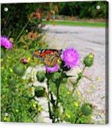 Monarch Butterfly Danaus Plexippus On A Thistle Acrylic Print